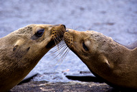 Sealed With a Kiss (OK, So They're Sea Lions, Whatever)