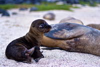 Sea Lion Pup & Mom